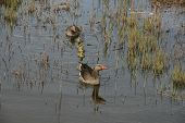 Greylag / Graylag (Anser Anser) goose with gosling in the water.