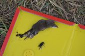 Disinfection Of Field Mice Is Caught In A Mousetrap poster