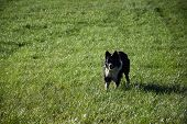 Focussed Purebred Border Collie Dog Standing In A Green Grass Field. poster