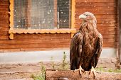 Bird Golden Eagle In The Zoo. A Bird In Captivity. Zoo Animals. poster