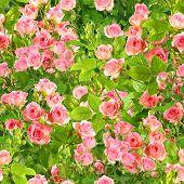 Achtergrond van takken met roze rozen bloemen