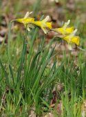 Four Wild Daffodils