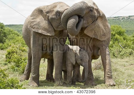 Two female elephants standing and embrasing each other with their trunks, two female elephants standing and embrasing each other with their trunks