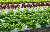 Hydroponische Salat