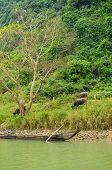 Water buffaloes and wooden boat, Phong Nha-K? B�?�ng National Park, Vietnam