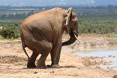 Comportamento do elefante macho