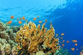 Underwater Coral Reef with Tropical Fish in the Red Sea