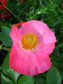 beautiful flower of the poppy