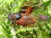 Big cicada