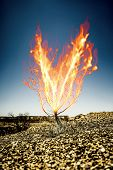 An image of the burning thorn bush