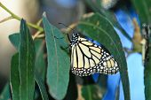 stock photo of cocoon tree  - A Single Monarch Butterfly sitting on a Leaf in a Tree - JPG