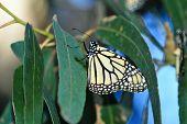 foto of cocoon tree  - A Single Monarch Butterfly sitting on a Leaf in a Tree - JPG