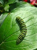 caterpillar of the butterfly machaon on the leaf