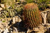 picture of piestewa  - Barrel Cactus on the Side of Piestewa  - JPG
