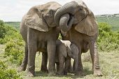stock photo of herbivore animal  - two female elephants standing and embrasing each other with their trunks - JPG