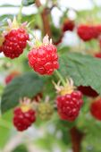 picture of hydroponics  - Detail of growing raspberrys in hydroponic plantation - JPG