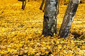 Yellow Leaf Litter Under Birch Trees
