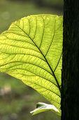 close up teak leaf shape