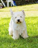 stock photo of westie  - A view of a small young and beautiful West Highland White Terrier dog standing on the lawn - JPG