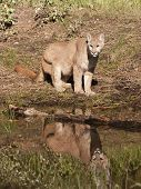 Cougar Reflection