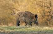 stock photo of boar  - Wild boar walking in forest in autumn morning - JPG