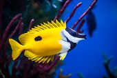 stock photo of aquatic animal  - Onespot Foxface Rabbitfish Closeup in a Big Saltwater Aquarium