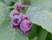 Wild Saskatoon Berries