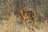 New born Nyala - Tragelaphus angasii