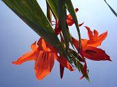 Gladiolo rosso