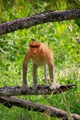 Proboscis Monkey Sitting On A Tree, Borneo, Malaysia