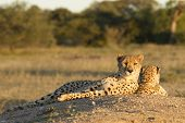 Two Female Cheetahs (acinonyx Jubatus)  South Africa