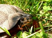 Wood Turtle Close