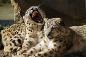 pic of panthera uncia  - Lying family of Snow Leopard Irbis  - JPG