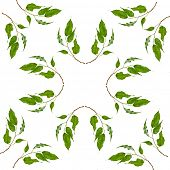 Abstract Frame Pattern of green leaves of ficus tree  isolated on white  background
