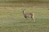 Deer In Grassy Field.