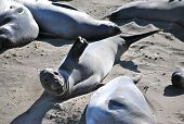 California elephant seal
