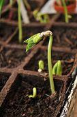 foto of bean sprouts  - Bean Seedling Growing in a Peat Pot - JPG