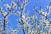 Cherry Flowers Against Blue Sky