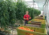 Farmer picking tomato