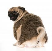 dog laughing - pug wearing fur coat with funny expression isolation on white background