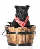scottish terrier puppy in a wooden wash basin isolated on white background