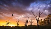Pelican flies over dead trees on the River Murray