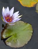Bee resting inside water lilly on pond