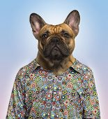 French Bulldog wearing a spotted shirt, blue background