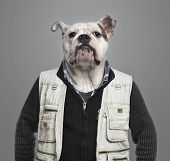 picture of no clothes  - English bulldog wearing work clothes - JPG