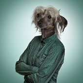 Chinese hairless crested dog wearing a green shirt, green background