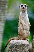 image of meerkats  - Alert Suricate or Meerkat  - JPG