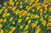 Bright Yellow Daffodils In Spring