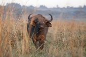 water buffalo in nairobi national park at dawn