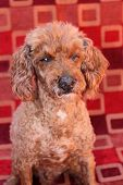 picture of poodle  - a blind poodle dog poodles are loved my millions around the world - JPG